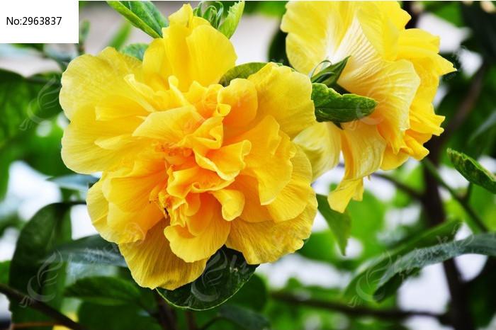 黄色的牡丹花图片