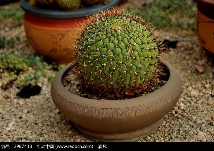 盆栽的绿色仙人球