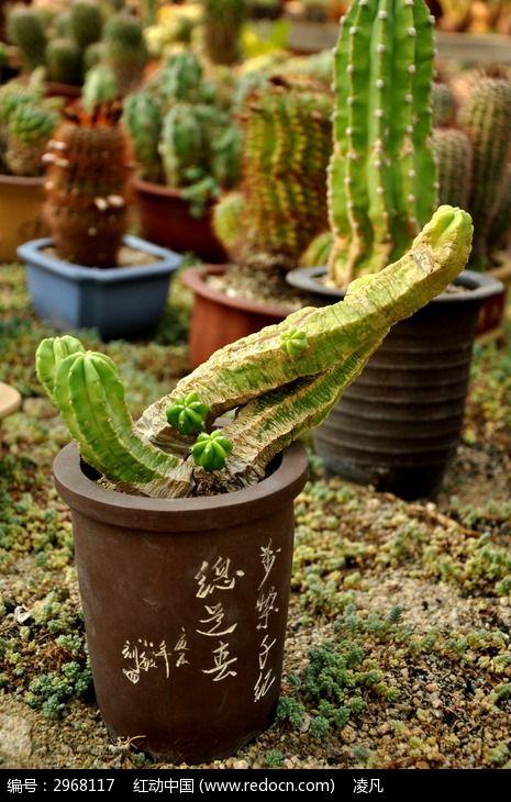 盆栽的仙人掌素材图片