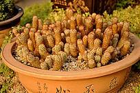 盆栽金手指仙人球