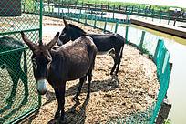天津七里海湿地公园饲养的驴子