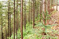 五溪山的人工林木