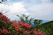 黟县五溪山  百年的树龄红杜鹃