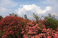 黟县五溪山  高大成片的红杜鹃