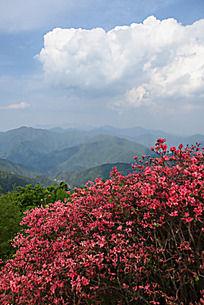 黟县五溪山  蓝天白云下的映山红