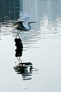 展翅欲飞的白鹭