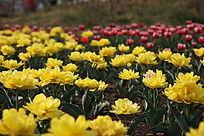 复瓣黄色郁金香花丛