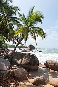 子树海南椰子树图片_椰子树海南椰子树设计素dw8层绘制图片