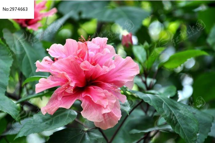 盛开的木槿花图片,高清大图_花卉花草素材