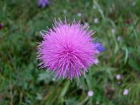 乌兰布统大草原的粉嫩小花