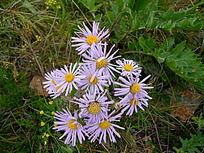 乌兰布统大草原的紫菀花束