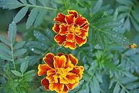 传统黄色花朵