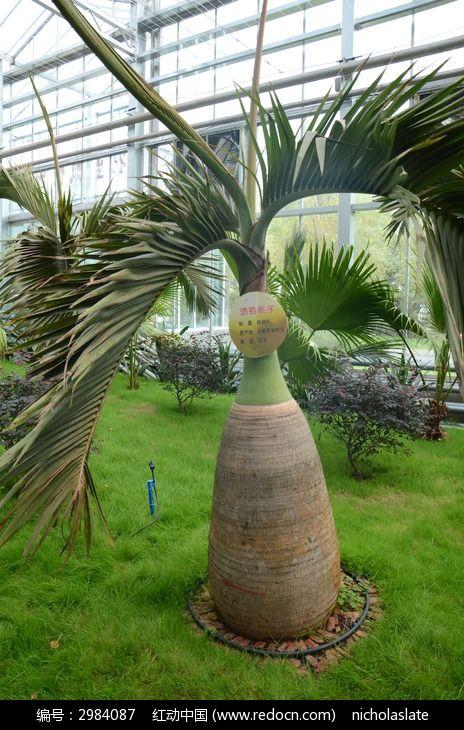 原创摄影图 动物植物 树木枝叶 酒瓶椰子  请您分享: 红动网提供树木