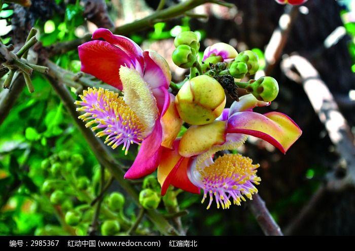菩提树花图片,高清大图