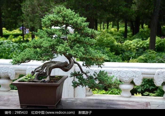 原创摄影图 动物植物 花卉花草 迎客松盆景艺术