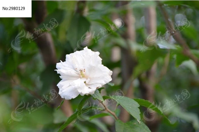 枝头的白色木槿花图片,高清大图_花卉花草素材