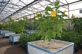寿光菜博会里的巨型茄子