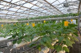 寿光菜博会水管中种植的茄子