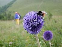 乌兰布统大草原的紫色花球上的黑背橙腹大蜂