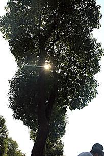 阳光下的大树