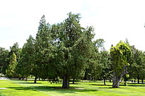 草地上茂盛的大树