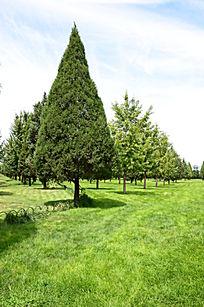 草地上挺拔的松树
