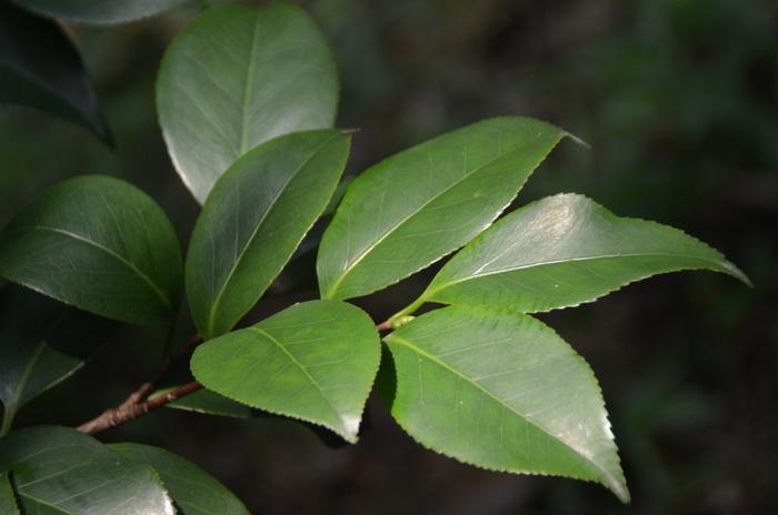 茶花叶子图片