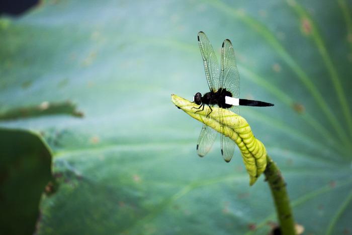 立在荷叶上的蜻蜓图片
