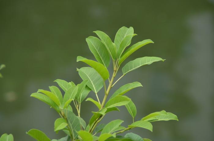 绿色的枝叶图片,高清大图_树木枝叶素材