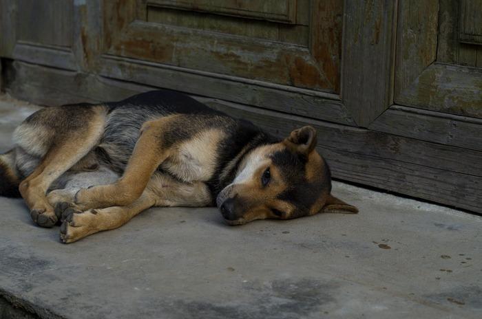 门前睡觉的黄狗图片,高清大图_陆地动物素材