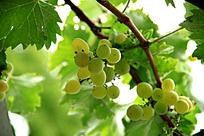 葡萄树上未成熟的青色葡萄