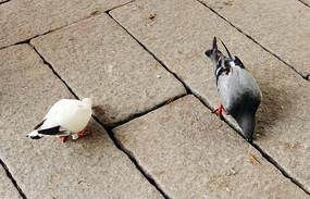 清源山寺庙里的两只鸽子