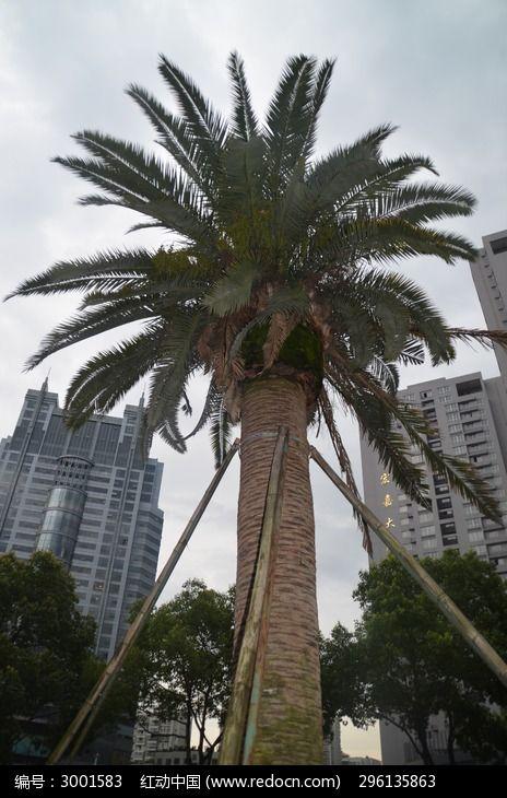 保鲜棕榈树