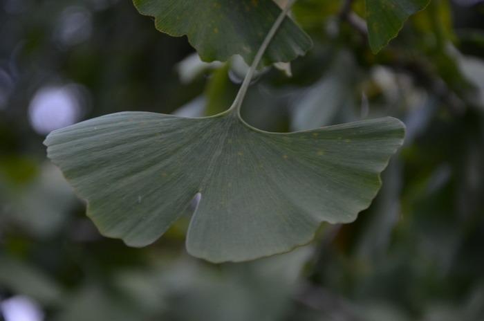 原创摄影图 动物植物 树木枝叶 银杏的叶子  请您分享: 红动网提供