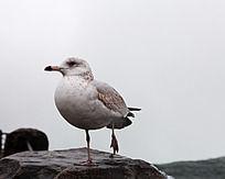 一只抬腿休息的海鸥
