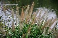 河边的毛毛草