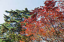 秋天的红叶