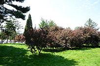 草地上的野玫瑰花树