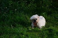 卷毛比熊犬