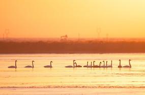 白天鹅的生态家园