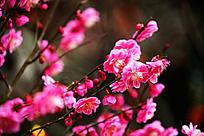 初春的红梅