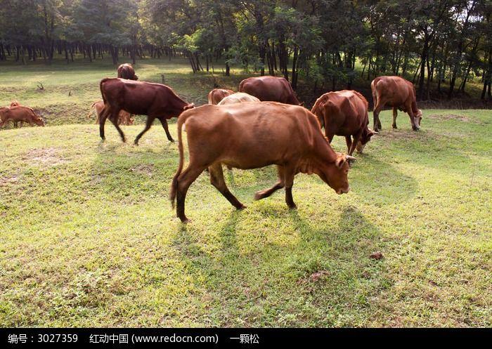槐林边的牛群