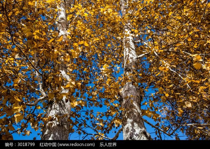 两棵白桦树的树干和树叶图片