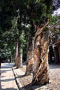 路边白桦树