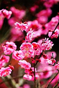 梅花满枝头