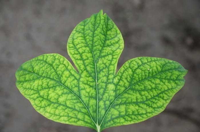 原创摄影图 动物植物 树木枝叶 嫩绿的树叶