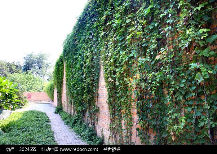 原创摄影图 动物植物 树木枝叶 墙面爬山虎