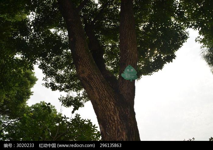 香樟树图片_动物植物图片