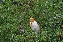 竹林休息的黄嘴鹭鸟