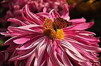 停在花蕊上的蝴蝶